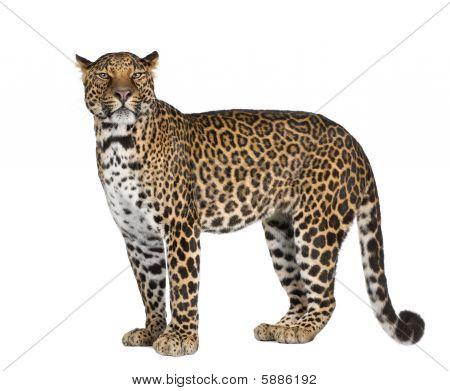 Retrato de leopardo, Panthera Pardus, contra el fondo blanco, Studio Shot
