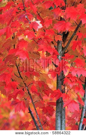 Bright Red Maple Tree