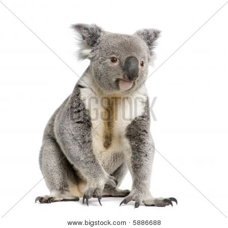 Male Koala 3 Years Old - Phascolarctos Cinereus