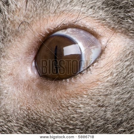 Male Koala 3 Years Old - Phascolarctos Cinereus