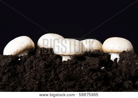 Fresh growing mashrooms in the ground. Ocer black background.