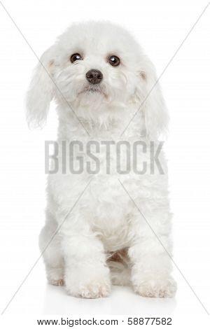Bichon Frise Dog Portrait