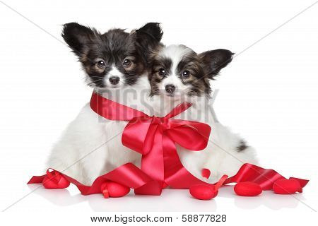 Papillon Puppies Associated Red Bow
