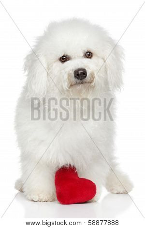 Bichon Frise With Red Heart