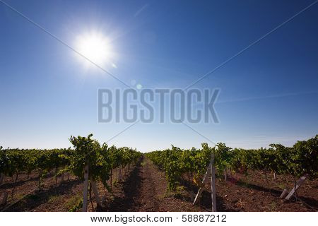 Vineyard In Crimea