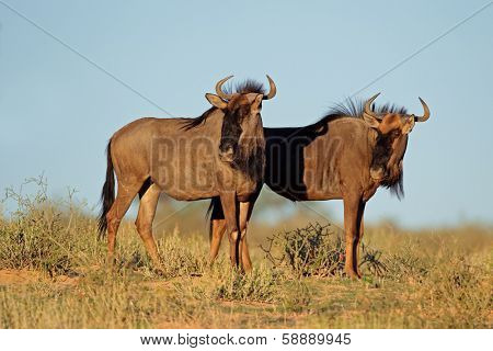 Blue wildebeest (Connochaetes taurinus), Kalahari desert, South Africa