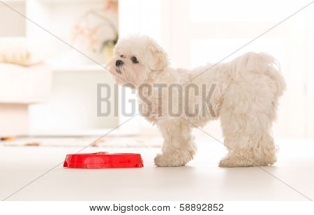 Little dog maltese waiting for his food in home