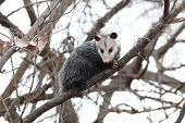 picture of opossum  - A common opossum perched in a tree - JPG