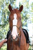 stock photo of bridle  - Chestnut horse portrait with bridle in the rural area