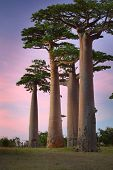 Baobab trees on a dry meadow during sunset. Madagascar