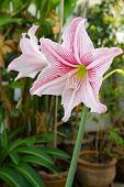 Pink And White Amaryllis Flower.