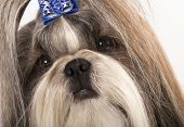 stock photo of dog breed shih-tzu  - portrait closeup Shih Tzu - JPG