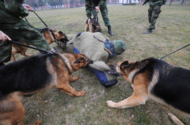 stock photo of opiate  - Police dogs are trained to attack terrorists - JPG