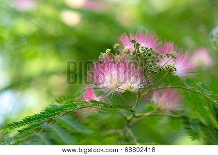 Persian Acacia blossoms