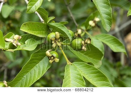 Three unripe Guava budding into fruit in the tree