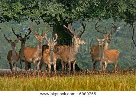 Red Deer In Yorkshire