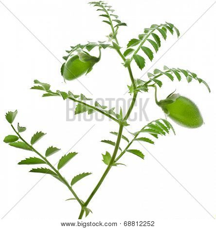 chickpeas green young plant isolated on white background