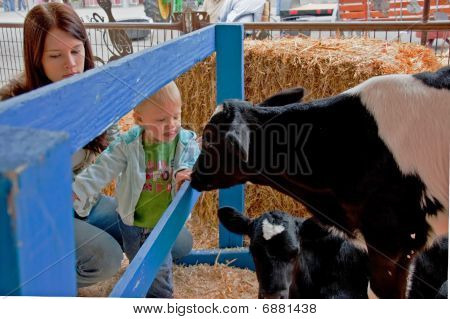 Little Toddler Discovers Calf