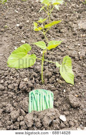 French Bean Plants
