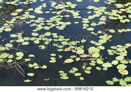 Leaves Of Water Lilies Background