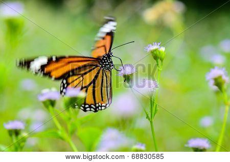 Common Tiger Or Danaus Genutia Butterfly
