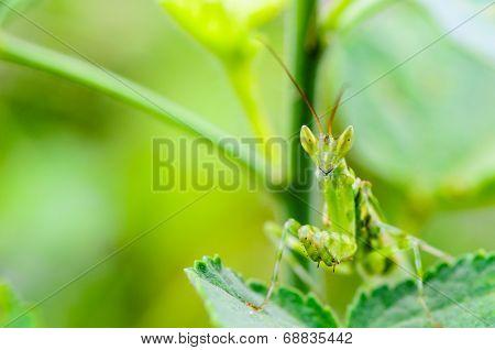 Jeweled Flower Mantis Or Indian Flower Mantis