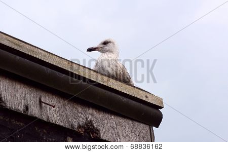 Fledgling Seagull On The Roof Of A Shack