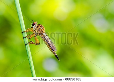 Robber Fly - Family Asilidae