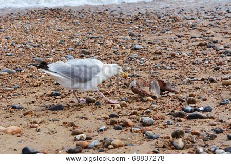 Seagull Pulling Flesh From The Bones Of A Smooth Dogfish
