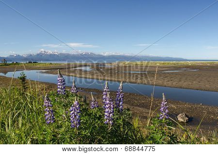 Lupines On Kachemak Bay