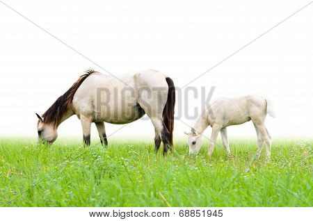 Horse Mare And Foal In Grass On White Background.