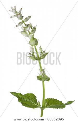 Fresh Salvia sclarea on white background