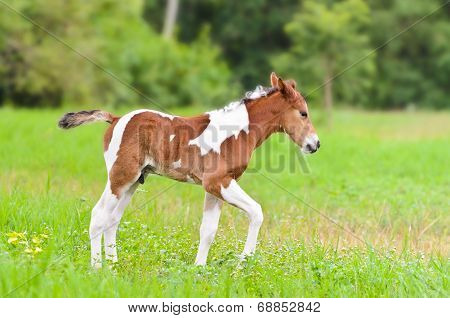 Horse Foal Walking In Green Grass.