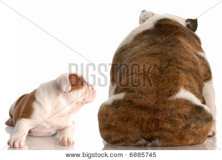 Mother Bulldog Mad At Puppy