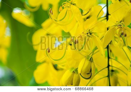 Close Up Purging Cassia Or Ratchaphruek Flowers ( Cassis Fistula )