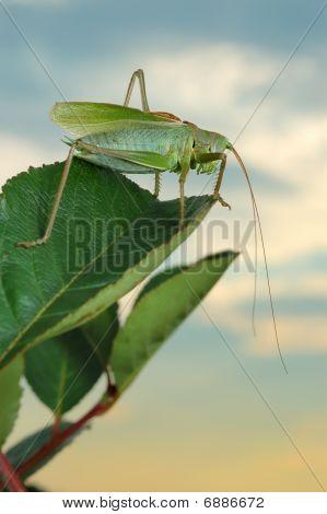 Grasshopper (tettigonia Cantans) At Sunset.