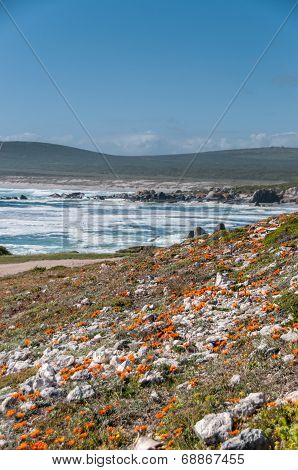 Flowers on the dunes on the west coast South Africa