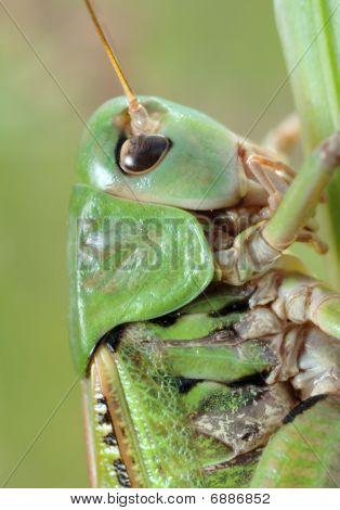 Grasshopper (tettigonia Cantans) Close-up.