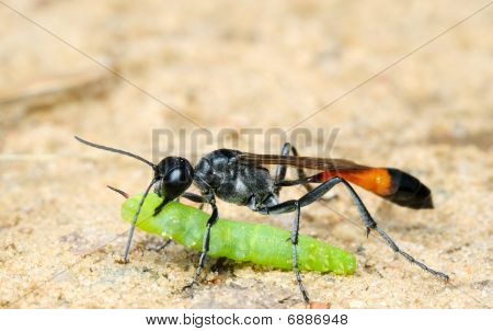 Wasp Ammophila Sabulosa With Prey