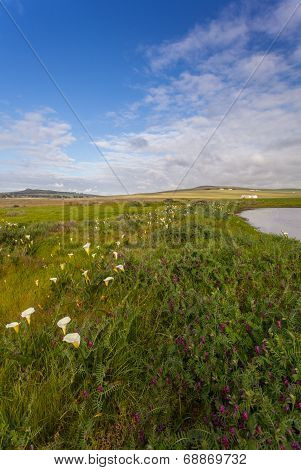 Field with arum lilies