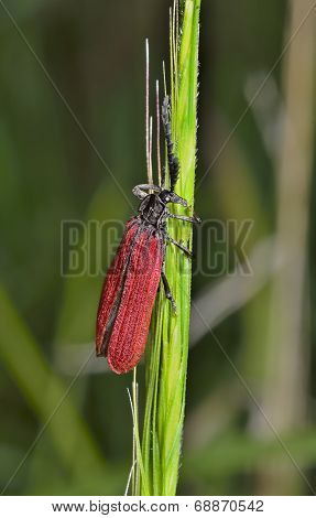 Red Beetle (cantharididae)