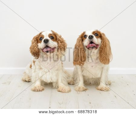 Two King Charles Spaniel dogs on a white background