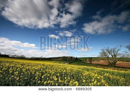 Oil Rapeseed Field In The South Hams Devon