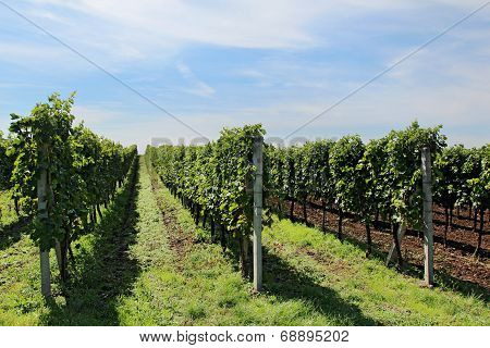 Big Vineyard With Long Lines