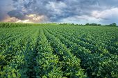foto of soya beans  - Soy field with rows of soya bean plants in sunset - JPG
