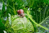 picture of garden snail  - Garden snail (Helix aspersa) is sitting on cabbage in the gardenn leaves with holes eaten by pests