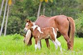 picture of mare foal  - Mare and foal with white brown graze in a meadow of Thailand - JPG