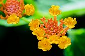 image of lantana  - Macro small flowers bright colors of Lantana Camara  - JPG