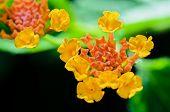 foto of lantana  - Macro small flowers bright colors of Lantana Camara  - JPG