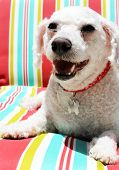stock photo of bichon frise dog  - A Bichon Frise smiles as she sits on a colorful striped lounge chair - JPG